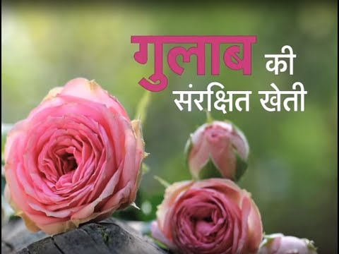 Krishi Darshan - Rose Farming special