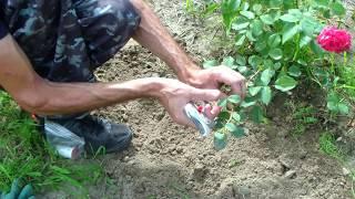 Размножение розы отводкой. Проверенный способ.