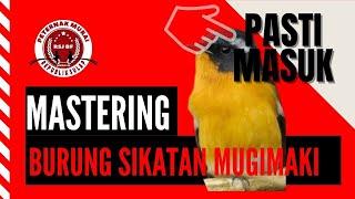 Burung Sikatan Mugimaki Gacor Robin Flycatcher Suara Air Alam Hutan Masteran Burung
