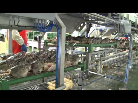 Skreiðarvinnsla / Tørrfisk-produksjon / Stockfish-processing