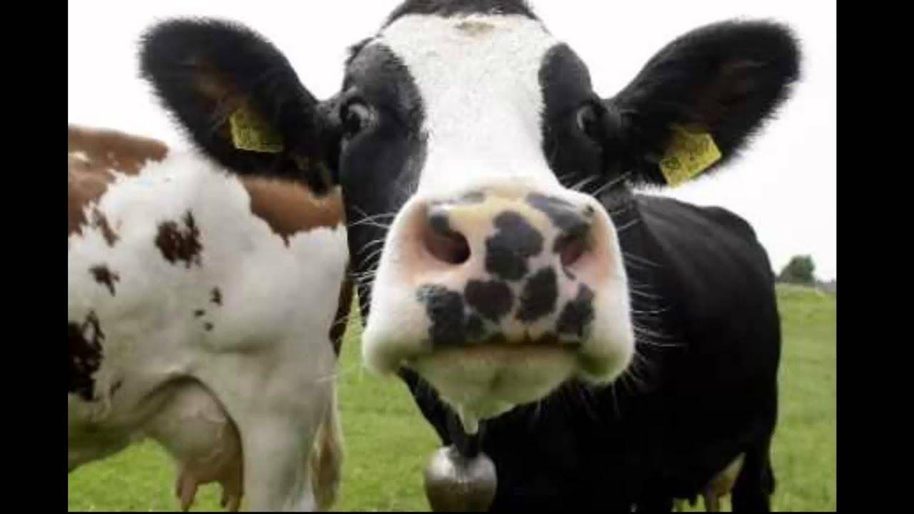 meuglement vache