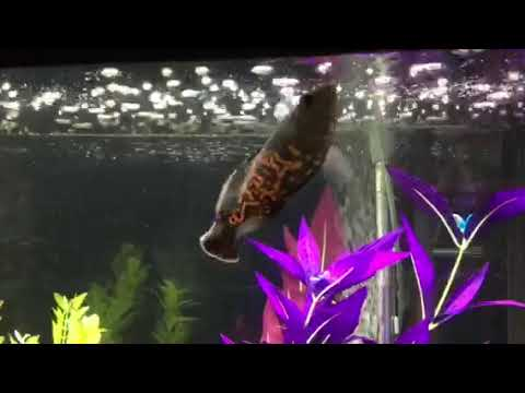 Leroy The Stunt Fish!