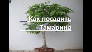 Как посадить и вырастить Тамаринд из косточки.