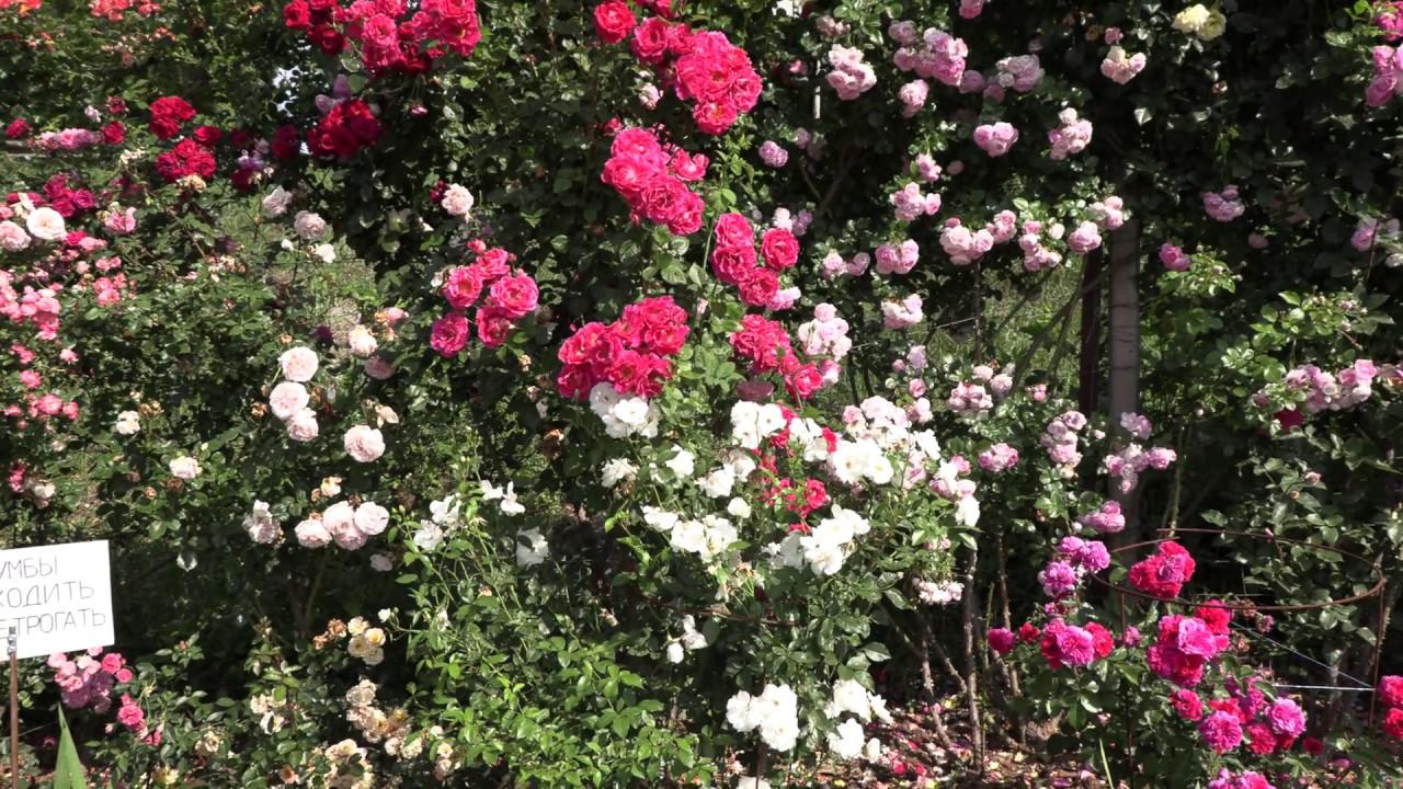 летняя обрезка роз после цветения, питомник роз полины козловой rozarium.biz summer pruning of roses
