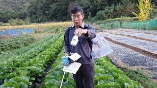 배추밭에서 가장 중요한 진딧물,칼슘결핍 무름병 방제에 …