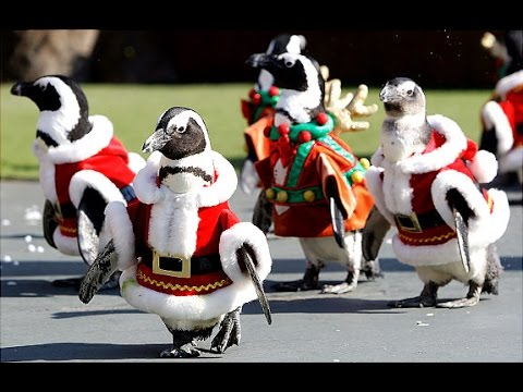 christmas penguins in japan youtube
