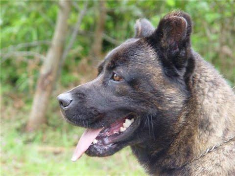 Saint Miguel Cattle Dog - (Cão Fila de São Miguel) / Dog Breed