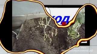 видео Капуста замерзла 1