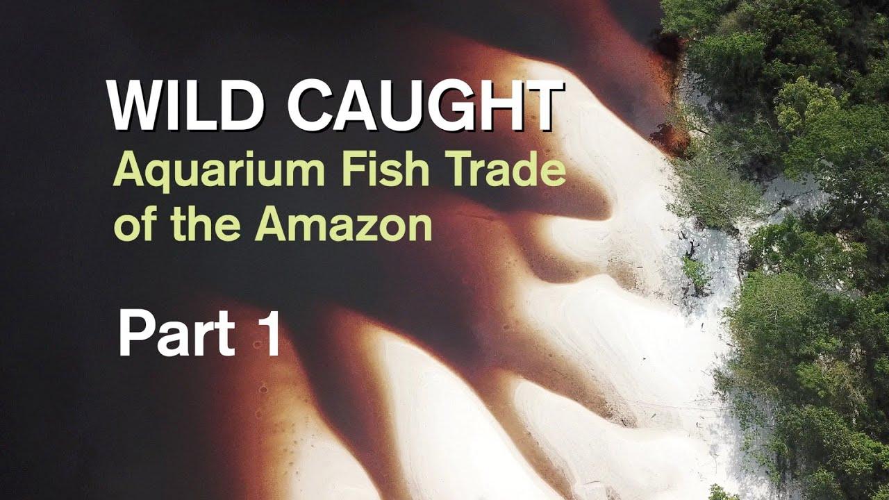 Download WILD CAUGHT: AQUARIUM FISH TRADE OF THE AMAZON - PART 1