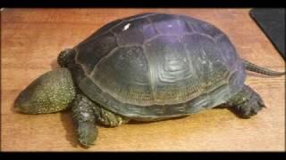 Пресноводная, болотная черепаха, что с ней делать в первую очередь