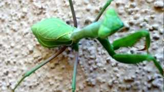 Praying Mantis Dances To The Beat