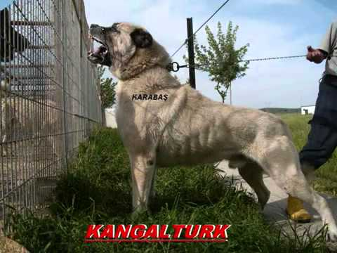 The Biggest Ang Strongest Dog In The World Kangal King