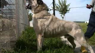 The Biggest ang Strongest DOG in the world (KANGAL) KING OF THE DOG S - MaZzikaM