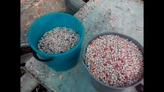 видео Выращивание фасоли как бизнес: план ухода за стручковой фасолью