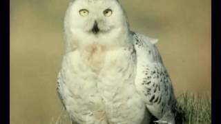 В объективе животные.  Белая сова. 1986г.