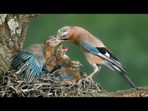 Вопрос: Звонарь, что это за птица Как выглядит Чем интересна?