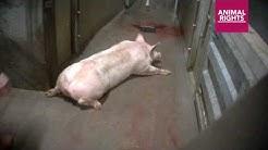 Undercover in varkensslachthuis Tielt