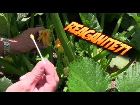 Hand Pollinating Squash & Zucchini to Produce More Food!