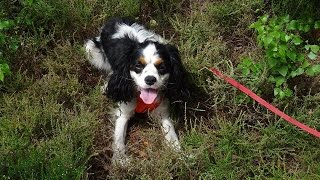 Ted - Cavalier King Charles Spaniel - 3 Week Residential Dog Training At Adolescent Dogs