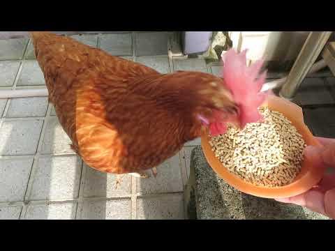 小雞日記 後院餵雞 MVI 2107