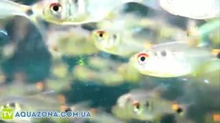 Фонарик - маленькая аквариумная рыбка купить