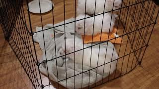 Coton Puppies For Sale - Joy 6/12/21