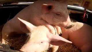 Свиньи Как выбрать беконных поросят