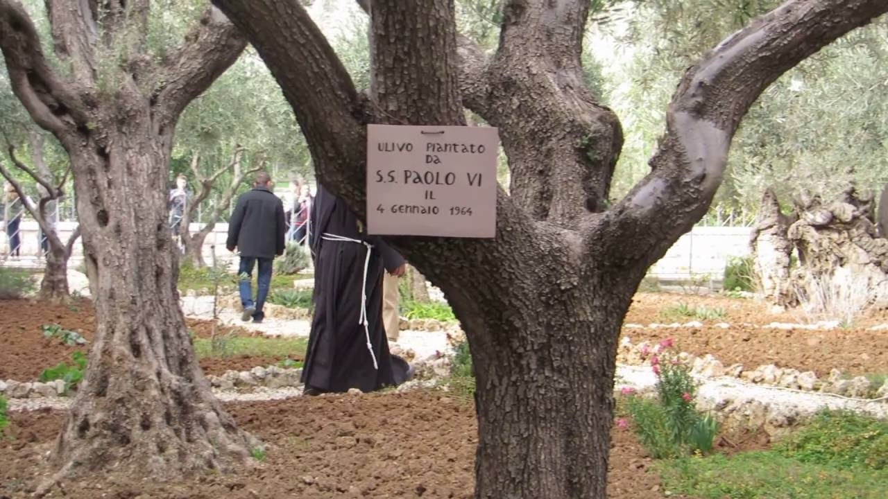 The Garden Of Gethsemane, Jerusalem   An Olive Tree That Was Planted By The  Pope In 1964