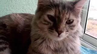 Моя сибирская кошка