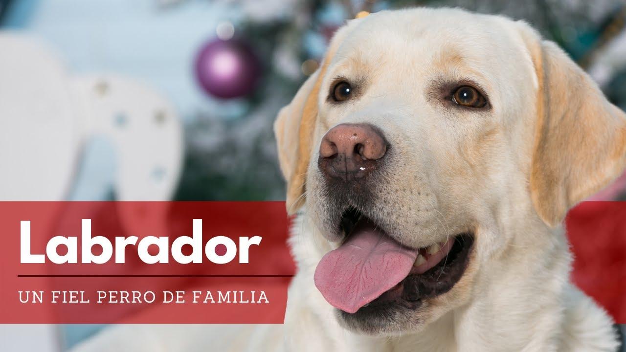 Labrador Retriever Todo Lo Que Debes Saber Sobre La Raza