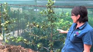Tropical Apple Tree - How to Grow on Wire Espalier style - Cross Pollination Tips