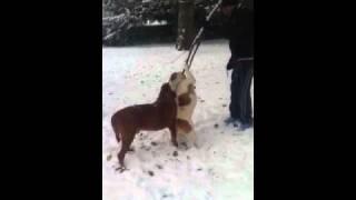 Bulldog & Dogue De Bordeaux