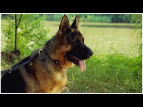 """German Shepherd looks grand in """"Vintage Chic"""" Nappa Padded Leather Dog Collar"""