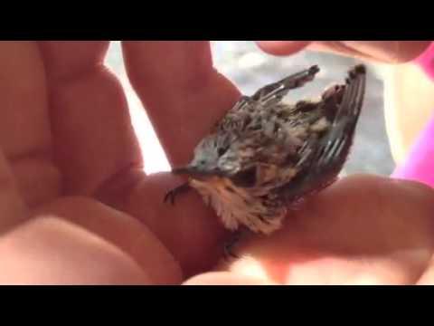 Smallest bird ever!.. Baby hummingbird :)