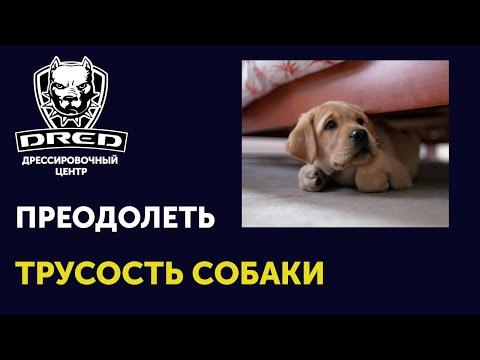 Как преодолеть трусость собаки | Ошибочное подкрепление трусливости