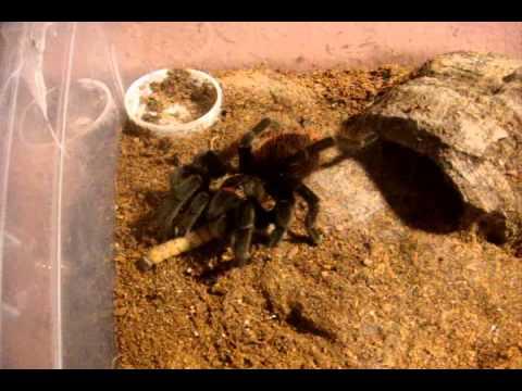 Tarantula Feeding Video 112  -  Got Some Good Ones