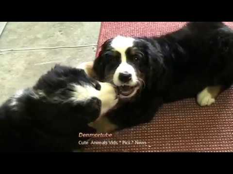 Bernese Mountain Dog Pups - Fighting & Sharing