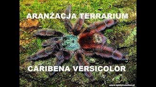 Baixar Naturalne terrarium dla Caribena (ex. Avicularia) versicolor L4 🕷 - spidersonline.pl