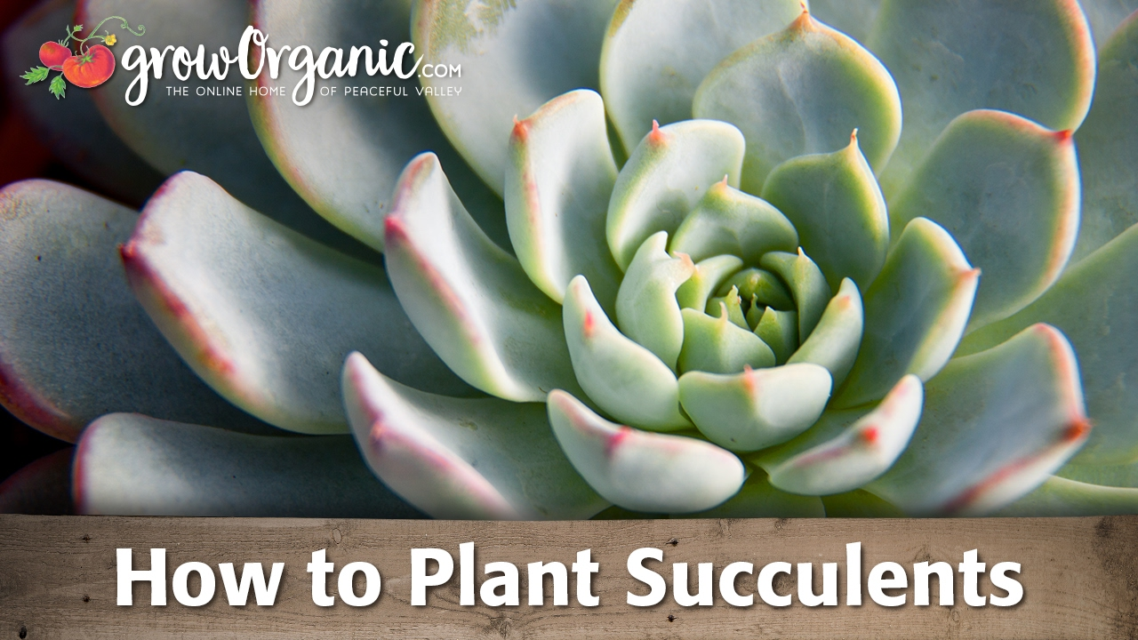 Growing Succulents Containers