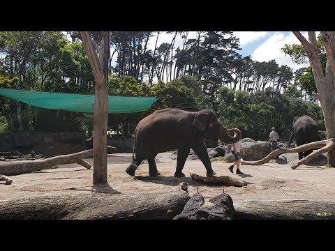 ELEPHANT ENCOUNTER, Auckland Zoo NZ 28/12/2018.
