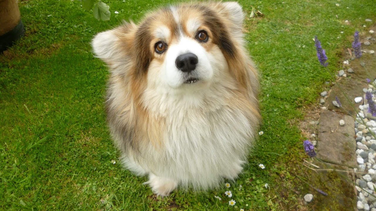 Our Fluffy Long Haired Welsh Corgi With