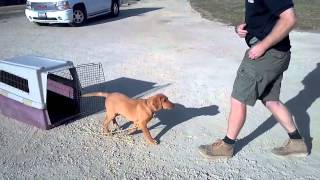 How To Crate Train Your Lab Puppy  San Jose Dog Trainer 408-45-1503