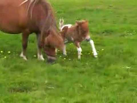 falabella filly 1 day old
