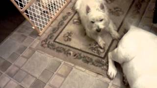 Funny Vidieo, Labrador Retriever Cooling Down A Westie, West Highland Terrier On A Hot Summer Day