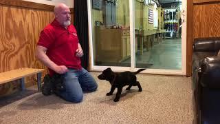 Zaria von Prufenpuden 11 Wks Black German Shepherd Early Obedience Training