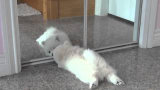 White Pomeranian Puppy First Time Seeing A Mirror