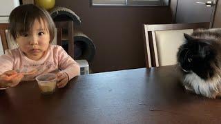 腹筋を頑張る娘を見つめる猫ノルと、オヤツを食べるのを見つめる猫ラガマフィン A cat staring at exercising and eating pudding.