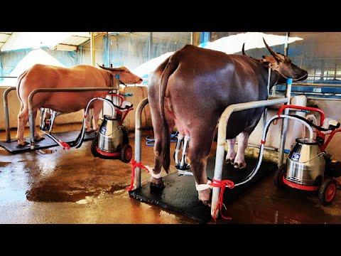 Amazing Water Buffalo Farming - Buffalo Milk Harvest technology - Excellent Buffalo Milk Product