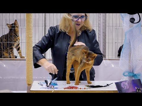 CFA International Cat Show 2018 - Abyssinian kitten class judging