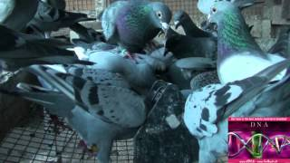 We breed only the best genetics material that exist in pigeon sport www.KIPA.be - www.Kulbacki.de